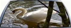 Beautiful Swan Swimming Rear Window Graphic Mural will make your car or truck rear window stand out.