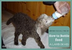 how to bottle feed a lamb or kid~JoybileeFarm