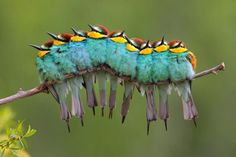 this isn't a caterpillar, it's actually a bunch of birds who apparently have no sense of personal space. European Bee Eaters