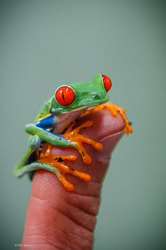 Miniature frog - Costa Rica <3