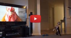 This Boston Terrier Howls at the Rooster! Watch!