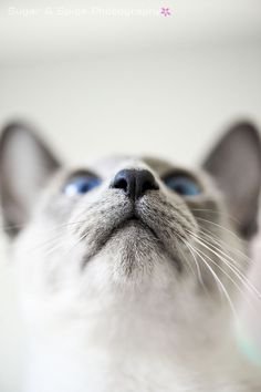 My Blue Point Siamese Cat...Kung pao Kitty