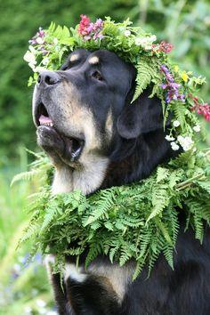 Tibetan Mastiff. Gentle soul #dog #mastiff #animal