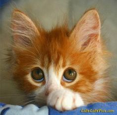 Those eyes! cats, funny kitten, big eyes, pet pictur, crazy people, kittens, kitty, animal photos, tiny animals