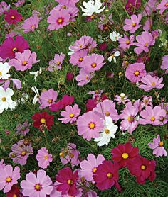 Cosmos for the flower garden
