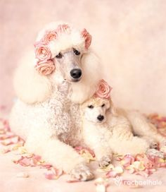Shabby Chic Poodle. Who would've thought...~❤~.Poodle Mom and baby dog Flower crowns...