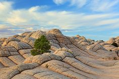 White Pocket Tree by Inge Johnsson      Pine tree in the midst of eroded sandstone at White Pocket in Arizona, USA