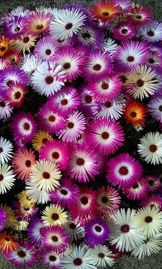 Livingston daisy