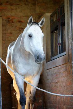pretty grey horsie