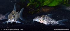"Corydoras ambiacus "" Spotted Cory"""