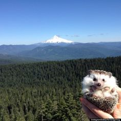 Biddy The Hedgehog has traveled to more places than I have!