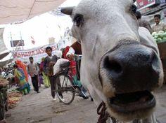 Curious Cow at an Indian Market #India