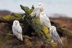 Snowy Owls     via Flickr.
