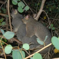 possum mating
