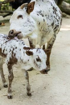 Mama cow and calf