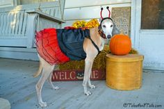 Lady Bug Halloween Dog Costume -- Tales and Tails
