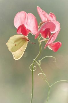 Butterfly and Sweet Pea flower<3 :)