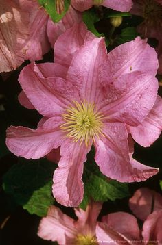 Clematis ' comtesse de bouchard' .(old mans beard) climber. close up of large pink flowers with yellow anthers.
