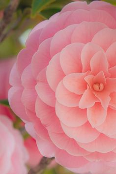 ...camellia...