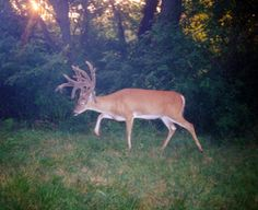 Giant non-typical buck