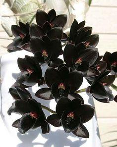 After-Dark 'Black-Diamond' orchid - http://orchidcrazeme.blogspot.com/2012_03_01_archive.html