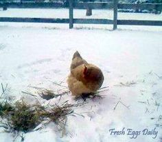 Fresh Eggs Daily: Cold Weather Prep - Winterizing your Flock