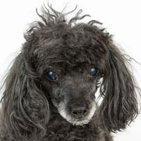 ***8/28/14 STILL LISTED!***Cute Muttville mutt: Alfie 2475 (Toy poodle | Male | Size: small (6-20 lbs))