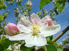 Spring Apple Blossoms Art Prints Baslee Troutman Photograph  - Spring Apple Blossoms Art Prints Baslee Troutman Fine Art Print