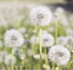 Dandelion greens  contain choline, a liver stimulant.