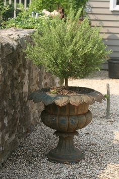 old urn with rosemary topiary