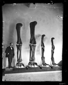 Henry Fairfield Osborn with fore and hind limbs of carnivorous and herbivorous dinosaurs from Wyoming, 1899.  © AMNH Library/Image #35044