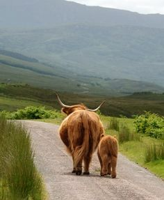 Highland cow and her calf on a morning stroll.