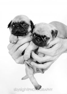 teeny-tiny pug puppies... Looks like my duke and Maggie when they were puppies