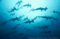 A school of scalloped hammerhead sharks at Darwin's Arch, Galapagos.