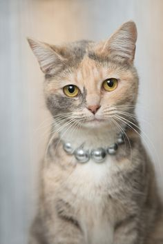 FANCY! If Kate Middleton was reincarnated as a cat, this would be her!