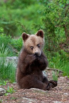 ☀Brown Bear Cub, Suomussalmi - Finland,