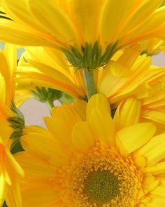 *YELLOW- gerber daisies