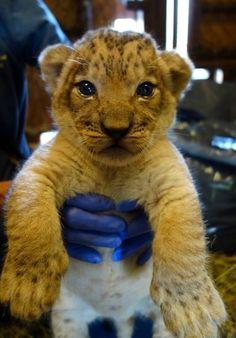Lion @ Honolulu Zoo