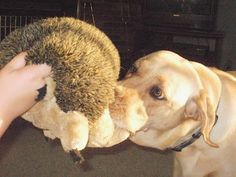Hedgehog Tug Of War ~ Rex loves his squeaking and grunting giant hedgehog from Kyjen!  Mom loves that he hasn't been able to gut out the squeakers!