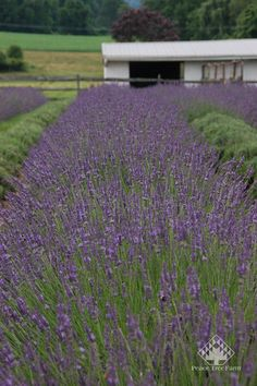 Lavender Phenomenal in the field.