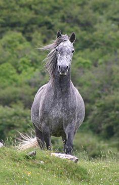 Connemara pony has a short, attractive head : originally from Ireland