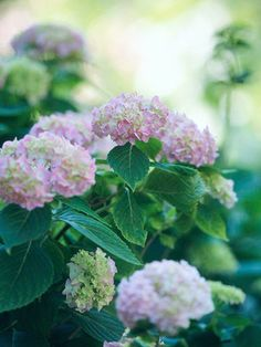 Hydrangea        A shrub of incomparable beauty, hydrangeas produce large clusters of pink, blue, or white flowers in early summer. They're great for cutting, if you can bear to take them out of your garden.        Name: Hydrangea macrophylla        Growing conditions: Partial sun and moist, well-drained soil        Height: To 6 feet tall        Zones: 6-9        More on Growing Hydrangea