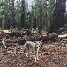 forests, instagram, coyotes, kevin russ, california, national parks, legs, wildlif photographi, blog
