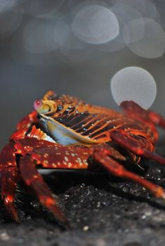 Crab in the Galapagos Islands
