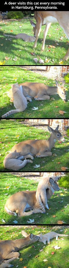 Deer And Cat Are Morning Friends