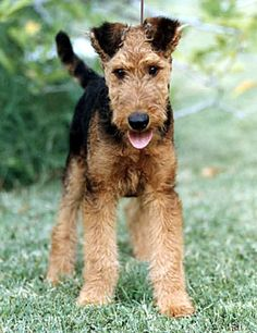 Airedale~