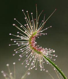 Drosera scorpioides commonly called the shaggy sundew, a carnivorous plant