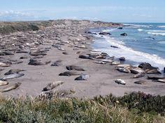 Elephant seals on the CA coast.