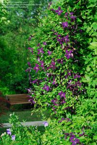 chain link is not pretty.  clematis is.  a tutorial on vine selection for covering a fence quickly