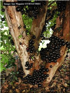 Brazilian native fruit tree: jaboticaba. it is a small and quite black fruit, sweet and juicy. Excellent for health, better than grape.